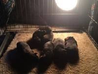 Beautiful Champion sired Rottweiler Pups will be