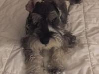 I have a Schnauzer Puppy for Sale. His name is Sven and