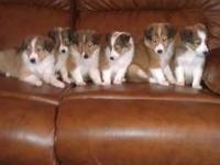 I have six beautiful female Sheltie Puppies looking for