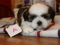 I have a black shih tzu with little white down the