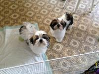 I have 3 shih Tzu 2 boys and 1 girl 4 months old 900.00