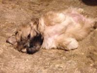 Up for sale is an AKC teddy bear puppy. She's very