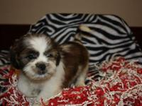 Jaxs, is a Cute Adorable Male Shih Tzu. He's AKC