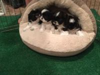 Cute adorable shih tzu puppies looking for their