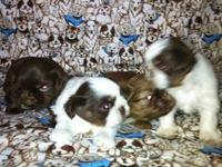Look at these A.K.C. Shih-Tzu puppies there are 3 males