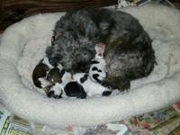 Shihtzu puppies males and females $395.00 full Akc
