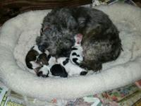 Shihtzu puppies males and females Akc reg. Parents on