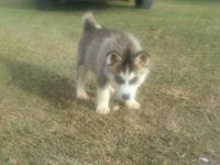 I have 4 adorable Siberian Husky Puppies for sale. They
