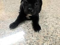 For sale by owner cute AKC Staffordshire Bull Terrier
