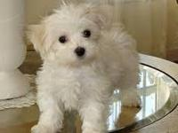 I have AKC 12 weeks old tiny male & female Maltese