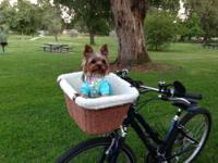 Two pure-bred yorkies for adoption! Dad is a