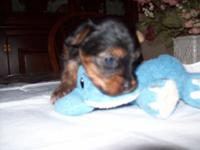 I have smale akc toy yorkie male will be small around