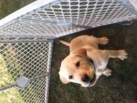 Cute 13 week old yellow lab. His mom is 90 pounds and
