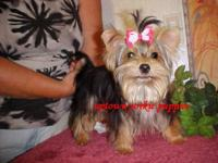 This very handsome akc reg yorkie puppy was born