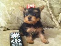 Super cute yorkie puppies born 1/12/13. Ready to go to