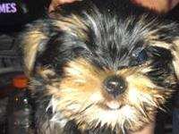 We have two yorkies that are six weeks old. there is