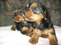 Cute AKC registered yorkies pups. The pups are friendly