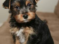 High quality adorable AKC yorkie looking a new forever