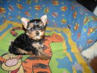 Two 6 month old male Yorkies for sale. Toy yorkie is