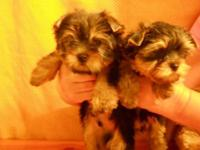 These AKC Yorkie Puppies are adorable! A pure type, a
