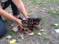 Sweet AKC registered Yorkie Puppies for sale. $1,200