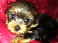 AKC Yorkshire Terrier young puppies for sale. Well