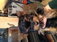 Akc yorkie pup. Male . Will be 5 1/2 to 6 pounds.
