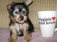 ThIs cute yorkie male puppy is a bundle of love. Tucker