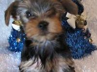 Beautiful AKC Yorkie puppy born on 9/13/13. She will be