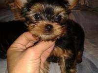 Toy and Teacup size Yorkie Puppies. Males and Females