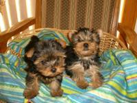 Cute and small, AKC Yorkshire terrier girl ready for