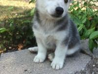 Koda is an Alaskan Klee Kai and American Eskimo Dog mix