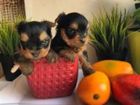 Rare Colored Yorkie Puppies (AKC Registered) They re