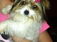 I have a gorgeous 6 month old female Parti Yorkie that
