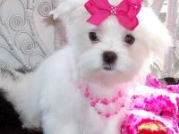 cute and adorable home trained Maltese puppies. my