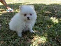 Cute and adorable male and female  Pomeranian