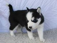 Animal Type: Dogs We have two amazing Siberian husky