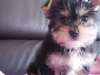 cute and adorable yorkie puppies for new homes, they