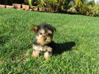 Cute and adorable Yorkie puppy for adoptionfor more