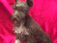 Beautiful mini schnauzer puppies ready for new forever