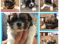 Six gorgeous Shih Tzu puppies born 8-26-15; currently 4