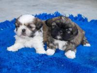cute and cuddly doll face puppies. calm and docile