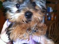 Very cute lovable Yorkie terrier puppy AKC registered.