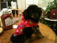 AKC Tiny Toy poodle, Female, Mostly black with tan and