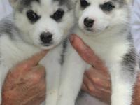 Cut and lovely male and female Siberian husky puppies