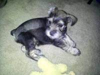 BEAUTIFUL MINIATURE SCHNAUZERS, they are 8 weeks old.