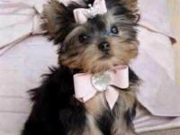 Our beautiful Yorkie puppies just turned 12 weeks and