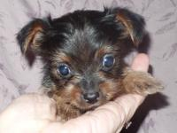 Beautiful,sweet spirited Yorkie available in