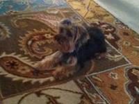 Need to find a good home for my Yorkie. She is one year