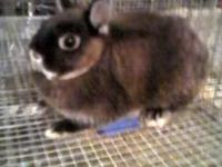 I am getting out of Netherland Dwarf rabbits. They are